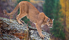 New Research Shows Wyoming Mountain Lion Population Down