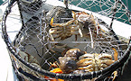 Washington Dungeness Crab Season to Remain Closed in Portions of South Puget Sound