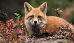 Rabid Foxes Confirmed in San Miguel County, NM