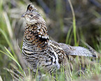 West Nile Virus Detected in Wisconsin Ruffed Grouse