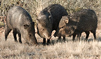 Apply for Arizona 2020 Spring Turkey, Javelina, Bison & Bear Leftover Hunt Permit-Tags Nov 18
