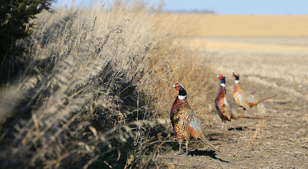 Apply for New Mexico 2018 Special Sandhill Crane and Pheasant Hunts by Aug 22