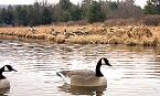 Maryland Canada Goose Season Opens Nov 17