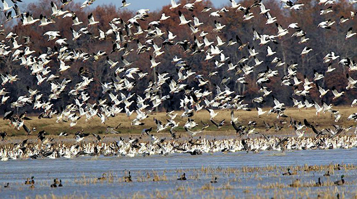 New Jersey 2018 Spring Light (Snow) Goose Conservation Order Opens Feb 16
