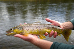 Arizona Anglers Can Earn Cash Bonuses During the Brown Trout Bonanza on the Colorado River