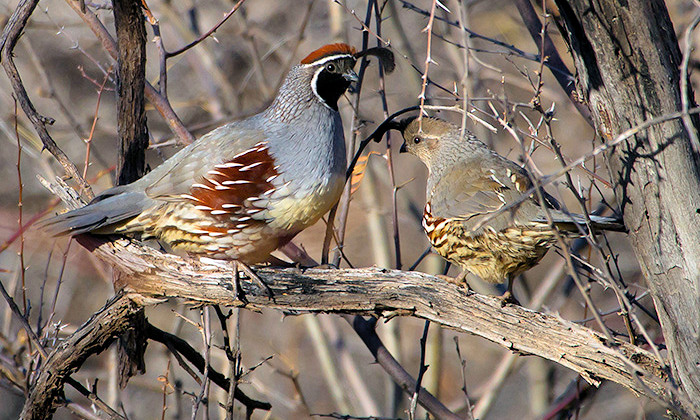Nevada Upland bird Hunting in Full Swing Through Feb 3rd