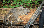 Tennessee 2019 Youth Squirrel Hunt Feb 16 in Lawrence County